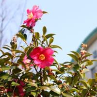 まだ、サザンカが咲いている!