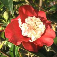 ハクシンボクハンの花