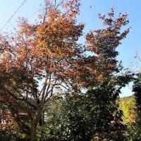 表現への圧力 萎縮を招く危うい流れ/庭の紅葉2~チシオモミジ、満天星ツツジ、花水木、錦木。