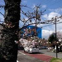 しみじみとみる桜