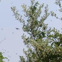 メスアカケバエの群飛