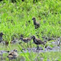 ムナグロの群れの中に、タカブシギが混じっていた。