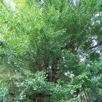 秋田県横手市大森町八沢木 銀杏の木台の大公孫樹