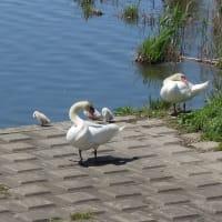 白鳥のヒナ誕生            2020年5月8日 金曜日