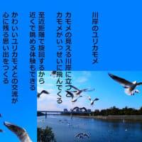 川岸のユリカモメ