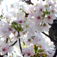 すっかり色づきました! … 福岡市御島崎のソメイヨシノ