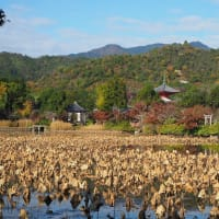 2020京都の紅葉 大覚寺大沢池 散りはじめも見頃続き