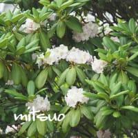 「蝦夷石楠花の花が咲きました」 MY GARDEN 2021.06.14日撮影