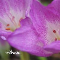 「イヌサフランの花が咲きました」 MY GARDEN 2019.09.14日撮影