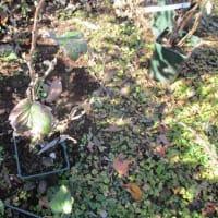 ジャンボスグリ植え付けました