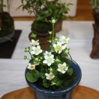 「おはようの花」 季節の山野草   ウメバチソウ(梅鉢草) 11月