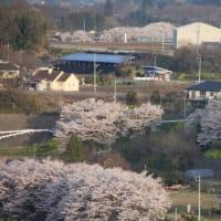 岡谷町熊野桜