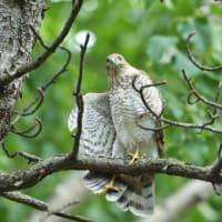 ハイタカ 幼鳥の成長