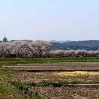 散り際もまた桜は美しい