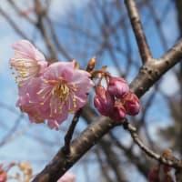 オカメ桜、椿寒桜、唐橋、寒緋桜が開花