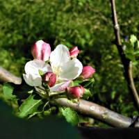 2021・4・20 横浜市こども植物園はニュートンのリンゴの花咲く。ハナイカダが可愛い。