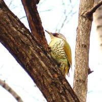 Cutie bird No.15 アオゲラ