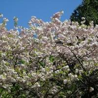 「桜」/昭和記念公園