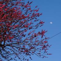 モクレン、コブシ、梅花と月
