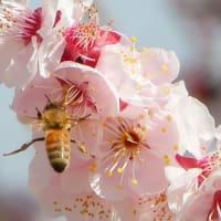 春の3月の庭・・・アンズと蜜蜂
