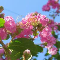 夏の青い空と【サルスベリ(百日紅)】Lagerstroemia indica シベもユニークで存在感大◆