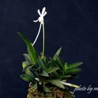 富貴蘭「牛若丸」の花