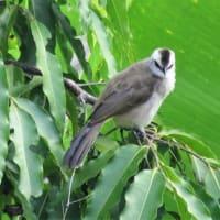 ウブドの鳥たち