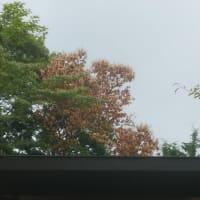 神奈川県足柄下郡箱根町のナラ枯れの被害により枯れたクリの木の伐採。