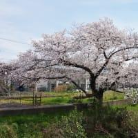 新坂川の桜