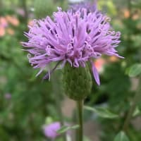 タムラソウの花は