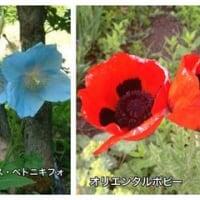 青いケシと赤いケシ