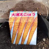 ごぼうの発芽