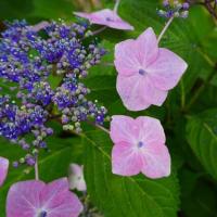 挿し木で増える我が家の紫陽花たち