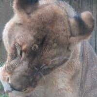 さあ、東武動物公園に行こう!(その4)PRIDE OF LION!