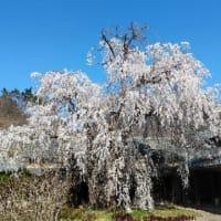信州須坂 田中本家のしだれ桜