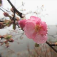 雨の庭で咲いていたお花です