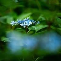 2019雨を待っていたアジサイ《福岡市東区筥崎八幡宮あじさい苑》