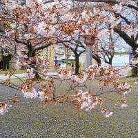 大阪護国神社 桜  2020.03.29