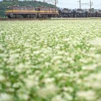三岐貨物と蕎麦畑(3714レ)