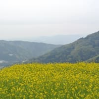 徳島脇町広棚の芝桜   4月16日