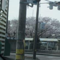 今年の桜?