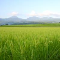 八ヶ岳山麓稲穂景色。