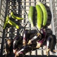 今日の収穫 ナス キュウリ オクラ 青ジソの実