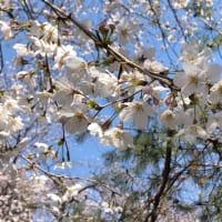 華蔵寺公園花まつり (*´∀`)