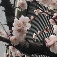 #自宅の梅が8分咲きになりました!