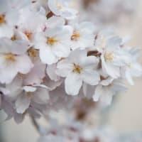 夜ノ森の桜。。原発を越えて、、