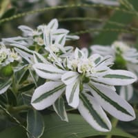 最近散歩で見た花(ルリヤナギ、ナツメ、他)