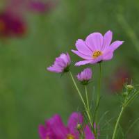 咲かずとも名はコスモス
