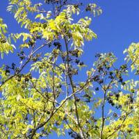 キハダ の黄葉