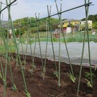 トマト植え込み完了です。